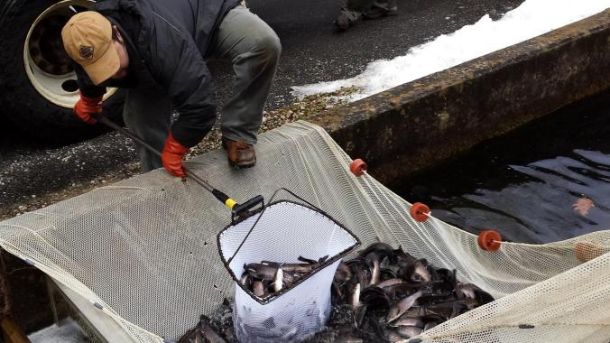 Staff loads trout from the hatchery raceways